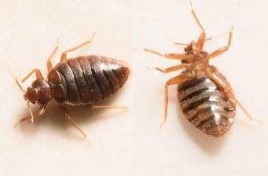 bed bug removal sandusky, bed bug exterminator sandusky